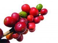 coffee-berries