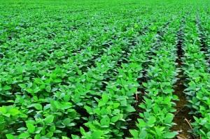 soybean-plant