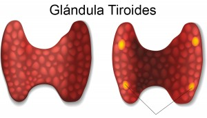 bigstock-Thyroid-and-parathyroid-gland--76690262b