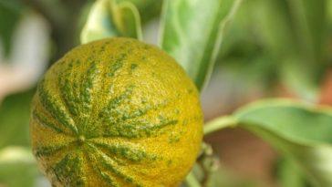 27842519 - type of  bitter orange   citrus aurantium turcicum salicifolia