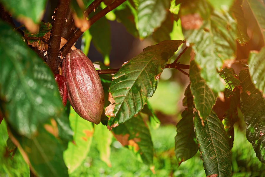 One Cocoa Pod On Tree